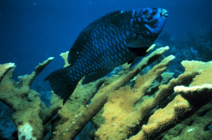 Scarus coelestinus - Midnight Parrotfish