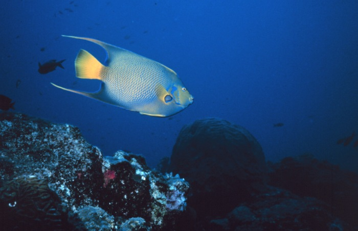 Holacanthus ciliaris - Blue Angelfish