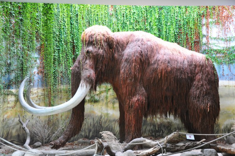 an overview of the extinct woolly mammoth Resurrecting wooly mammoths will reverse-engineer extinction a harvard professor says elephant-mammoth embryos are only but more than that, the revival of the wooly mammoth could actually nullify the concept of extinction altogether what will it mean to go extinct in a world where.