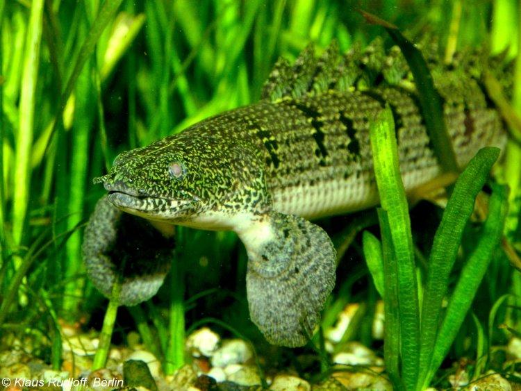 Image - Polypterus delhezi (Barred Bichir) | BioLib.cz