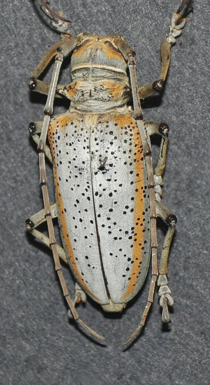 Rosenbergia Megalocephala Biolib Cz