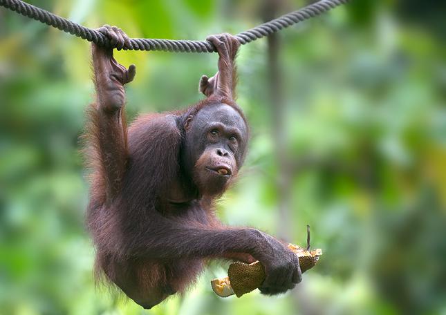 the nature of orangutan or pongo pygmaeus Orangutan (pongo pygmaeus) family: hominidae, subfamily: ponginae, genus: pongo, species: pongo pygmaeus/pongo abelii, type: mammal.