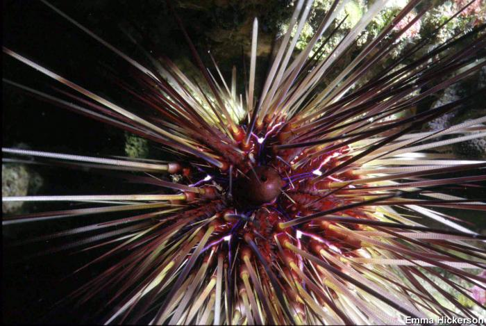 Diadema antillarum - Long-spined Sea Urchin