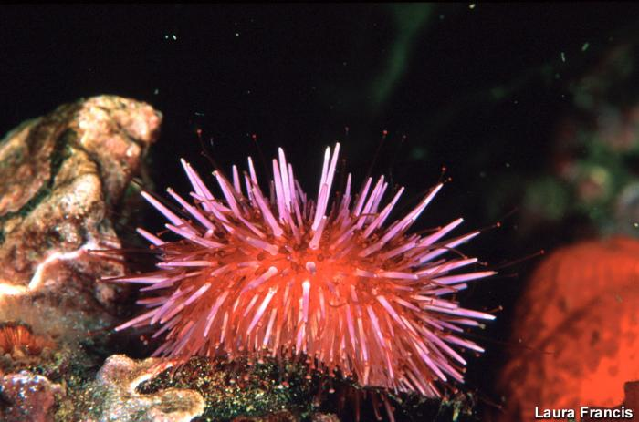 Strongylocentrotus purpuratus - Purple Sea Urchin
