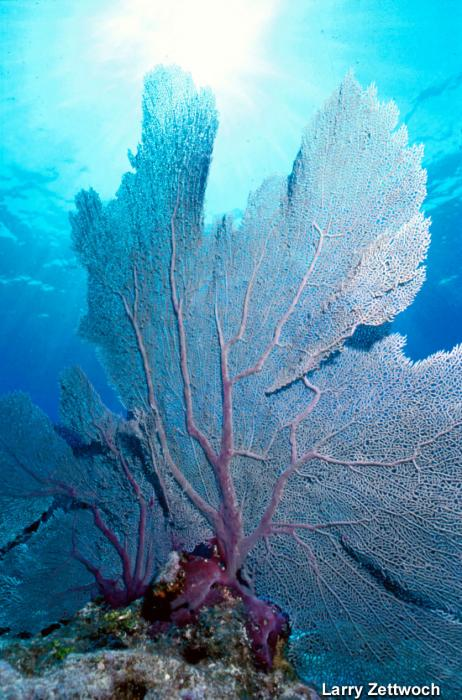 Gorgonia ventalina - Common Sea Fan