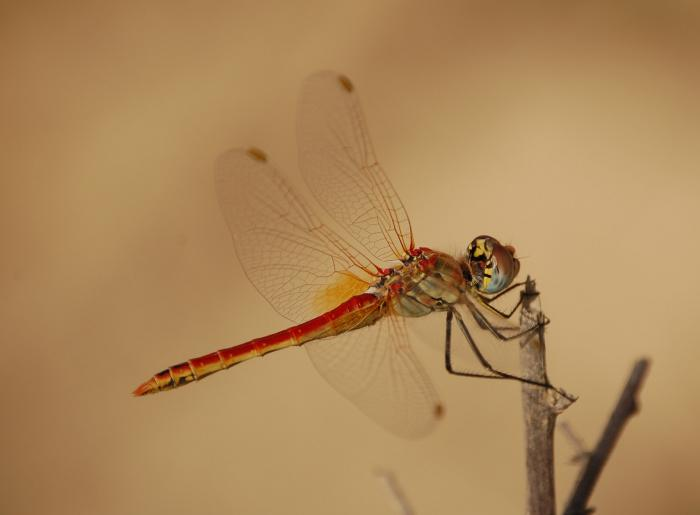 Sympetrum fonscolombii - Red-veined Darter