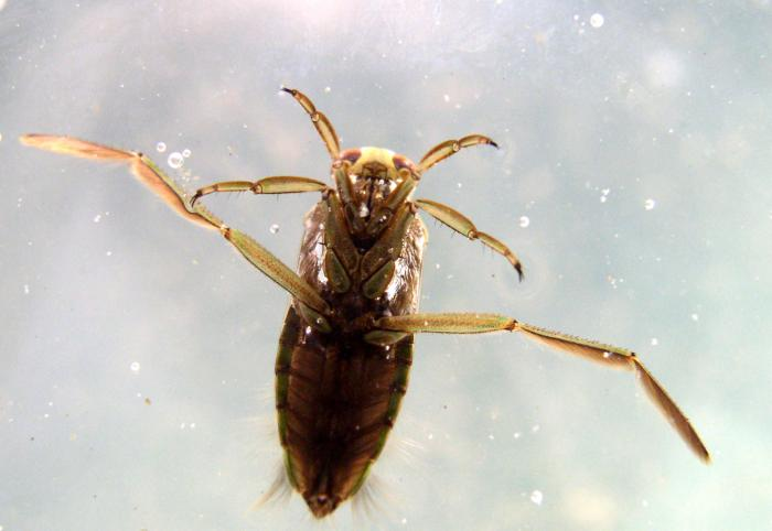 Notonecta glauca - Water Boatman
