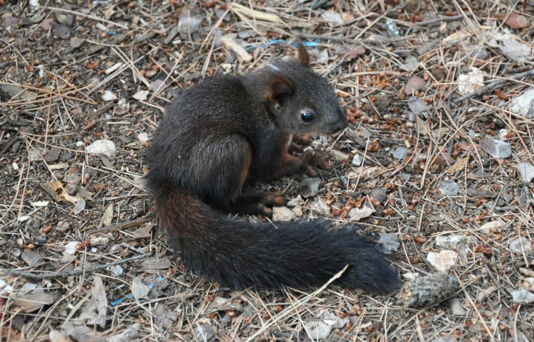 Sciurus vulgaris - Eurasian Red Squirrel