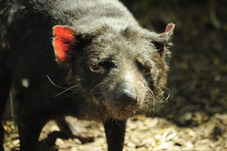 Sarcophilus harrisii - Tasmanian Devil