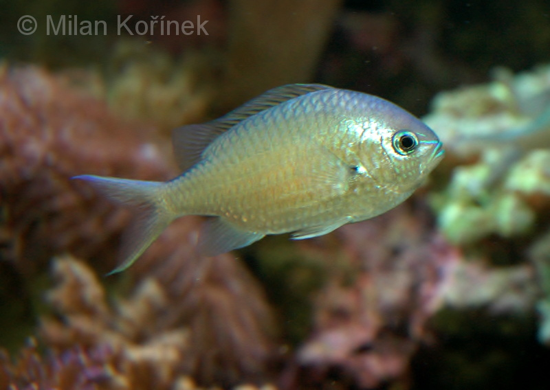 Chromis viridis - Blue Green Chromis