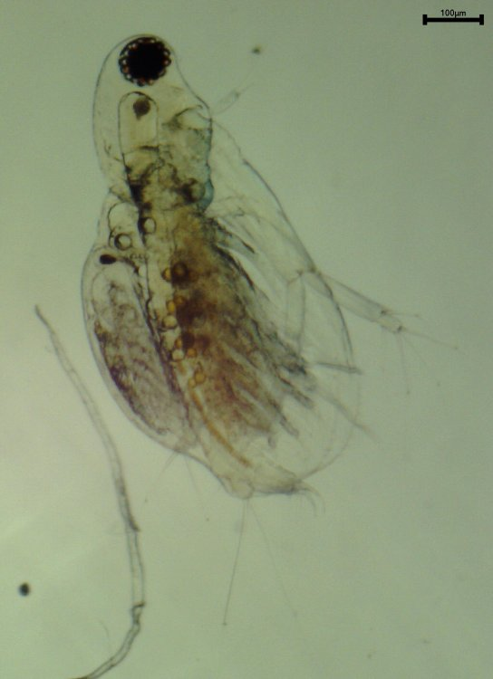 Diaphanosoma brachyurum