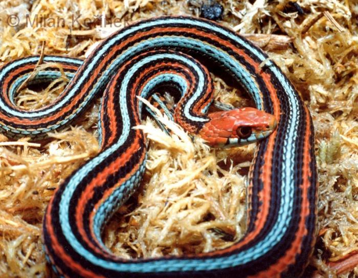 image thamnophis sirtalis tetrataenia san francisco