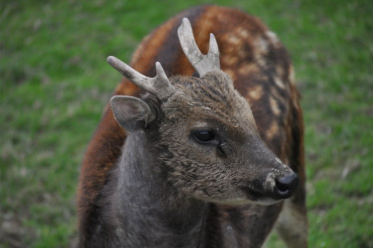 Rusa alfredi - Prince Alfred's Spotted Deer