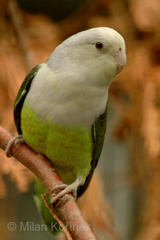 Agapornis cana - agapornis šedohlavý