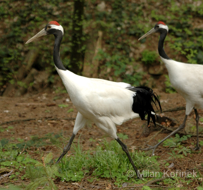 Grus japonensis - Red-crowned Crane