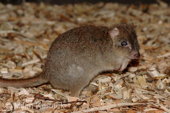 Image Bettongia Penicillata Ogilbyi Ogilby S Brush Tailed Rat