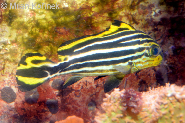 Image gallery striped sweetlips for Sweet lips fish