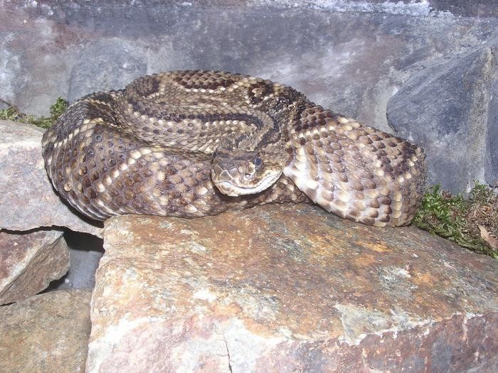 Crotalus durissus - Neotropical Rattlesnake