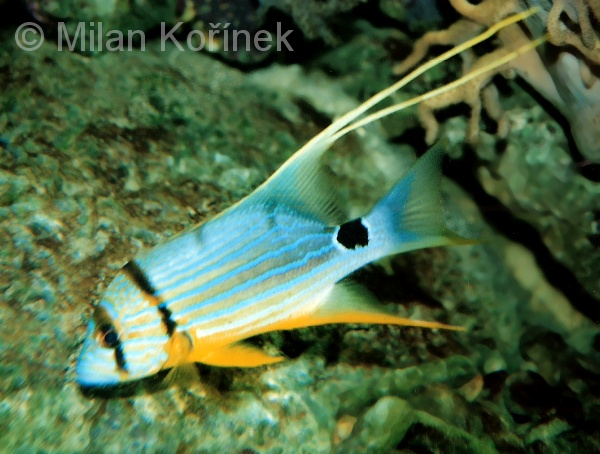 Symphorichthys spilurus - Blue and Gold Striped Snapper