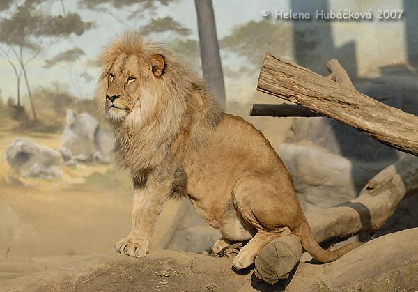 Panthera leo bleyenberghi  L  246 nnberg  1914  - Katanga LionKatanga Lion