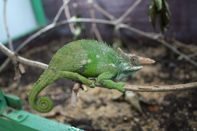 Image kinyongia fischeri fischers chameleon biolib kinyongia fischeri fischers chameleon thecheapjerseys Choice Image