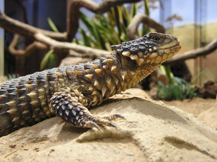 Smaug giganteus - Giant Girdled Lizard