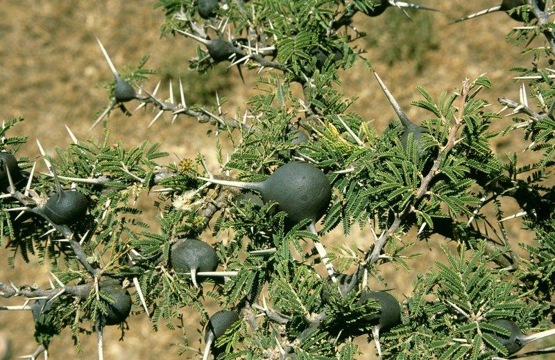 Carolina holly, Ilex ambigua (Celastrales: Aquifoliaceae