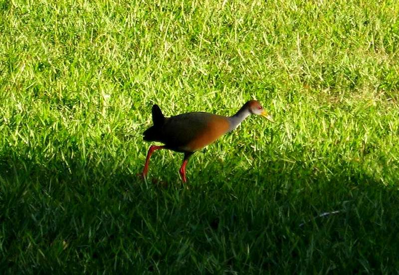 Aramides cajaneus - Grey-necked Wood-rail