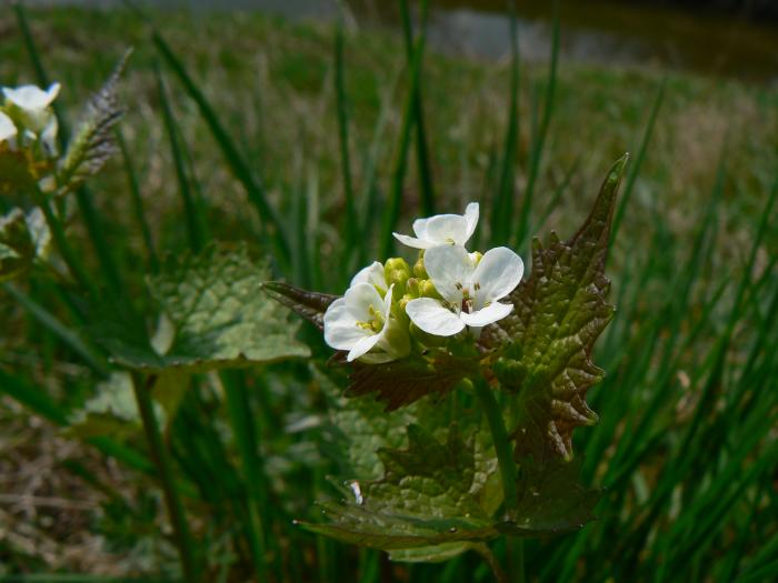 Alliaria petiolata - Garlic Mustard