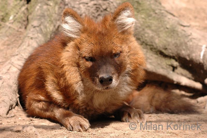 Image Cuon Alpinus Alpinus Alpine Wolf Biolib Cz