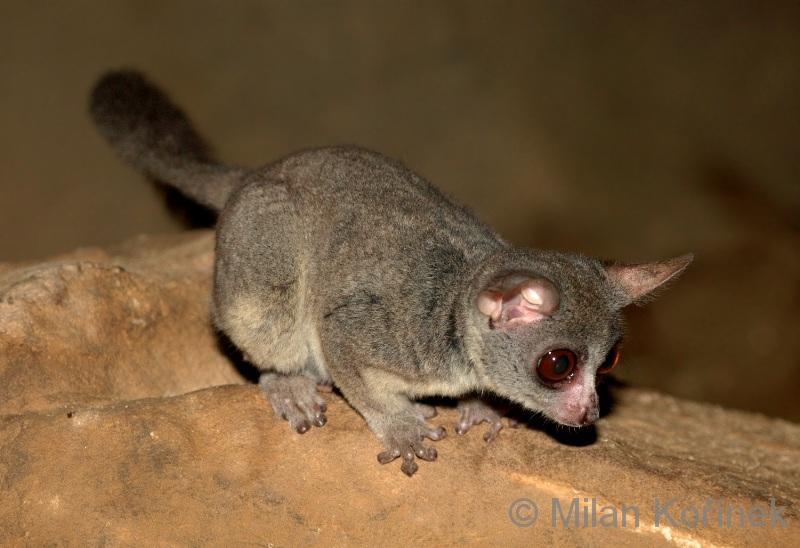 Galago senegalensis - komba ušatá