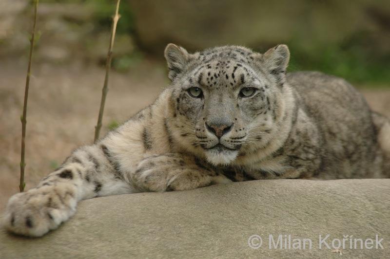 Panthera uncia - irbis horský