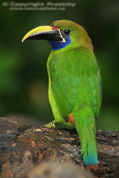 Emerald Toucanet Image - Aulacorhynchus...