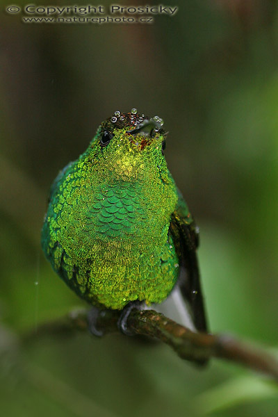 Elvira cupreiceps - Coppery-headed Emerald