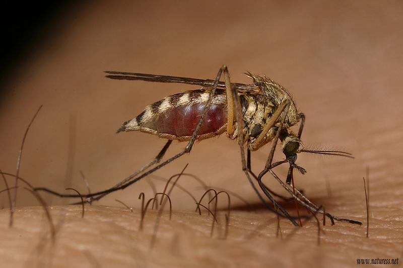 Image - Culex pipiens (Northern House Mosquito) | BioLib.cz