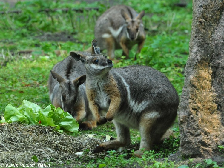 File:Yellow Footed Rock Wallaby.jpg