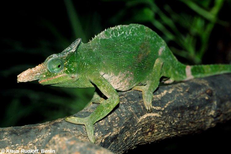 Image kinyongia fischeri fischers chameleon biolib kinyongia fischeri fischers chameleon thecheapjerseys Images