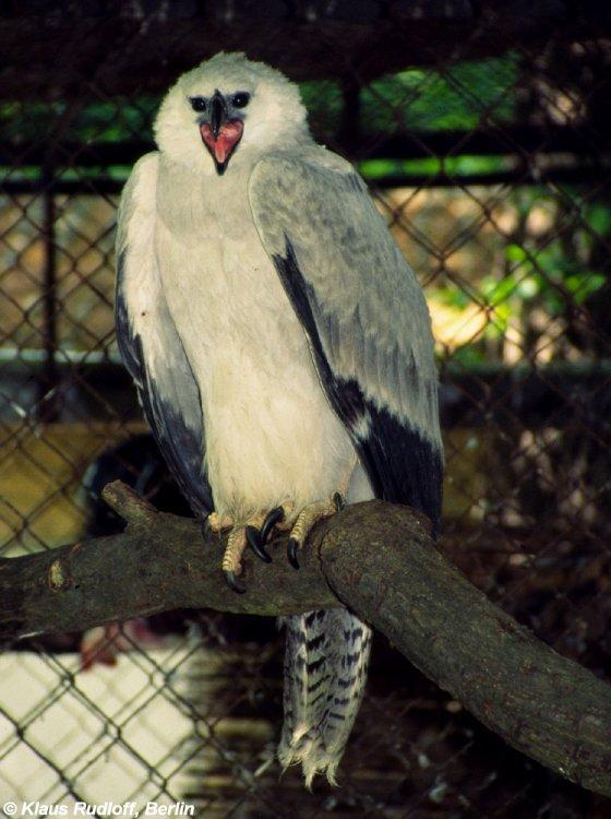 image harpia harpyja american harpy eagle biolib cz
