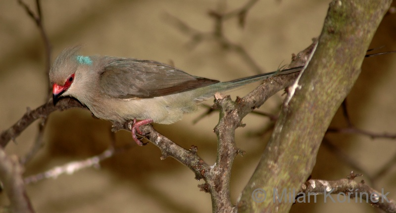 Urocolius macrourus - Blue-naped Mousebird
