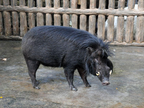 Sus philippensis - Philippine Warty Pig