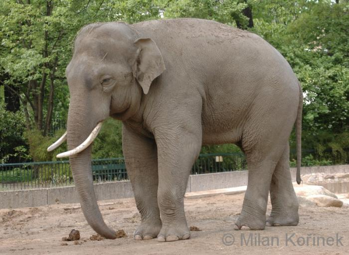 Elephas maximus - Asian Elephant