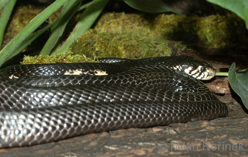 Naja melanoleuca - Black Forest Cobra