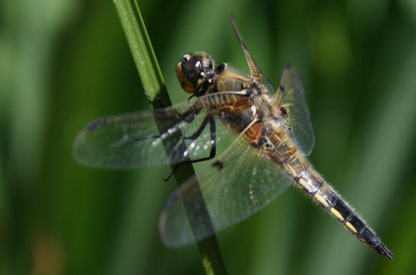 Libellula quadrimaculata - Four-spotted Chaser