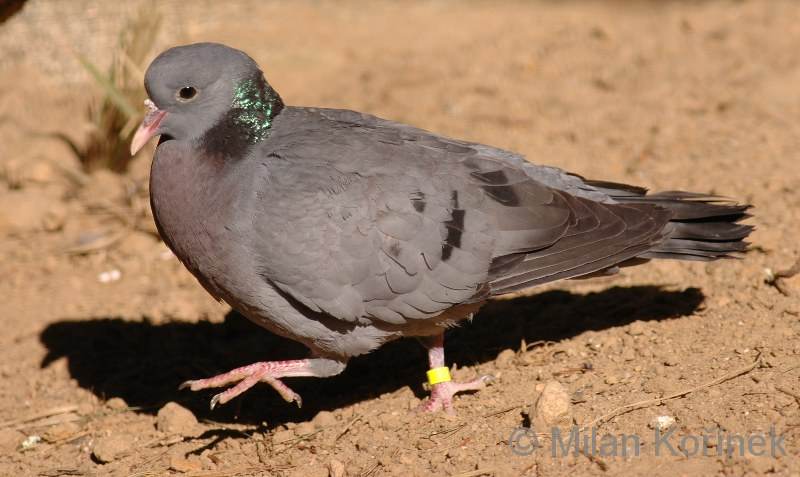 Columba oenas - Stock Dove