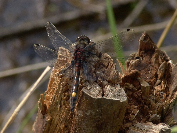 Leucorrhinia pectoralis - Large White-faced Darter