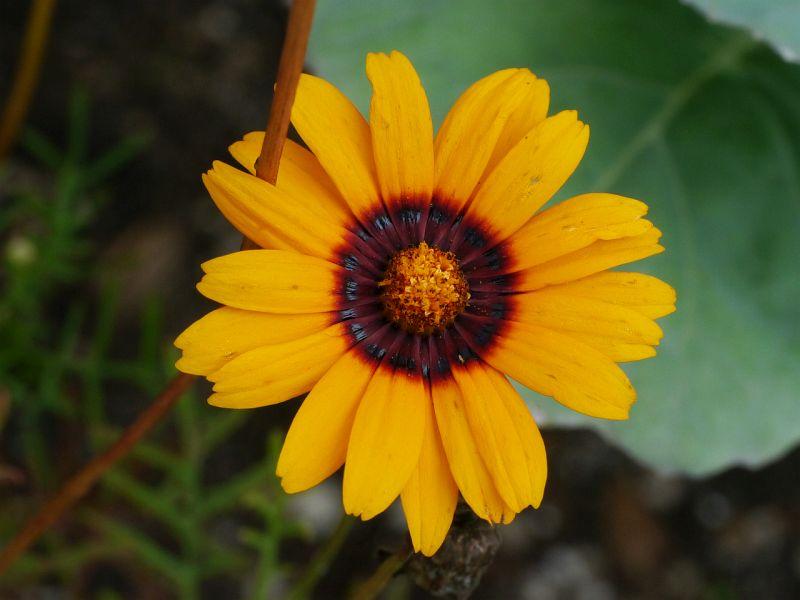 как выглядит цветок урсиния посмотреть фото является популярной туристической