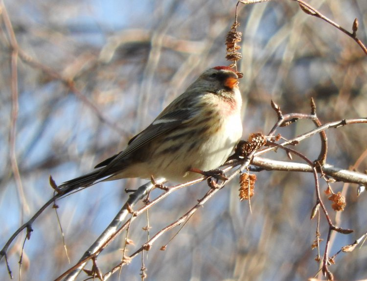 Acanthis flammea - Common Redpoll