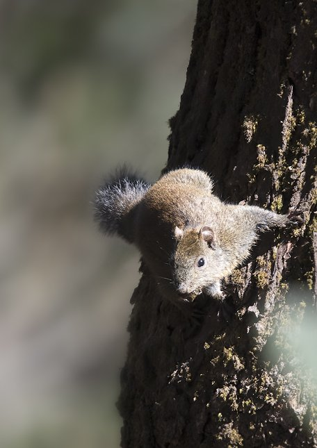 Callosciurus pygerythrus - Irrawaddy Squirrel