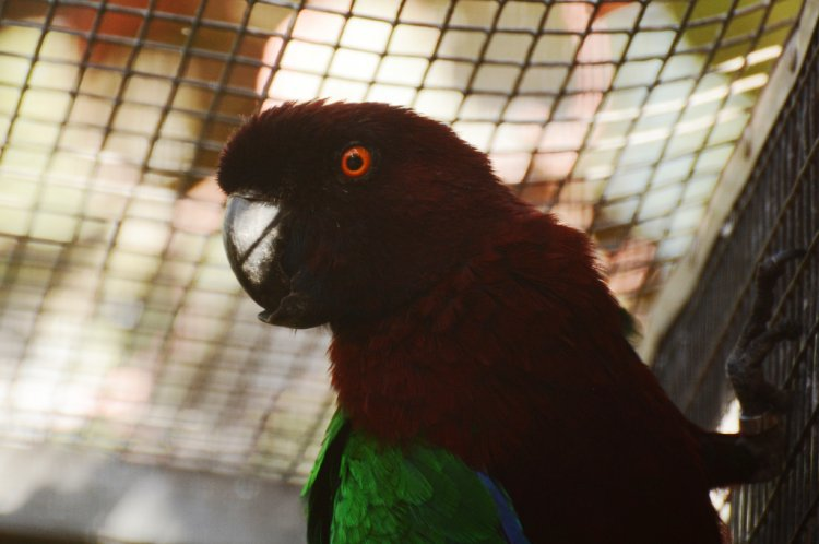 Prosopeia tabuensis tabuensis - Red Shining-parrot
