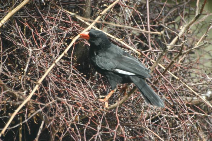 Bubalornis niger - Red-billed Buffalo Weaver
